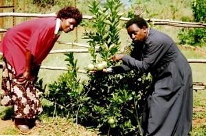 О.Христофор и мат. Мария позируют перед апельсиновым деревом.<br/>Миссия выращивает апельсины на продажу.